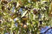 спелые плоды миндаля на дереве — Стоковое фото