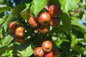 краб яблоки на дереве — Стоковое фото