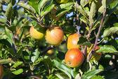 Close-up of fresh crisp apples — ストック写真
