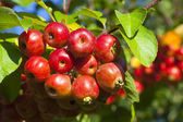 Close-up of ripe crab apples — Stock Photo