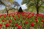 Exceptional view of a large red tulip bed — Stock Photo