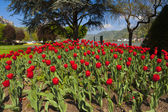 Exceptional view over a large red tulip bed — Stock Photo