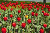 вид на красивый большой красный тюльпан кровать в парке — Стоковое фото