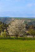вишневое дерево в саду — Стоковое фото