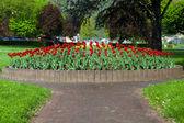 красивый большой красный тюльпан кровати — Стоковое фото