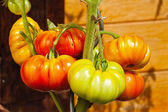 Tomato plant with beefsteak tomatoes in the home garden — Stock fotografie