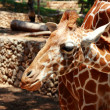 Giraffe — Stock Photo #30162749