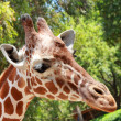 Giraffe — Stock Photo #30162767