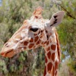 Giraffe — Stock Photo #30163109
