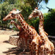 Giraffe — Stock Photo #30163195