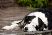 Lazy dog days of summer — Stock Photo
