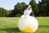 Dog on Yoga Ball — Stock Photo