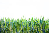 Corn growing in field — Stock Photo