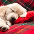 Stock Photo: Sleeping puppy on plaid