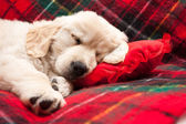 Sleeping puppy on plaid — Stock Photo