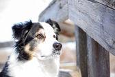 Australian Shepherd wood railing — Zdjęcie stockowe