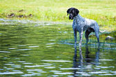 English pointer at the pond — Stock Photo