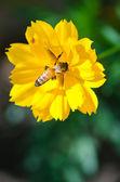 Abeja en flor amarilla — Foto de Stock