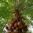 Stock Photo: Cannon Ball Tree