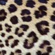 Leopard hair closeup — Stock Photo