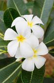 Blossom Frangipani — Stock Photo