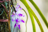 Closeup to little violet blossom orchid — Stock Photo