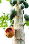 Closeup ripe papaya — Stock Photo