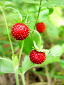 Wild strawberry berries fruit dessert growing in nature — Stock Photo