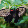 Stock Photo: Balck butterfly