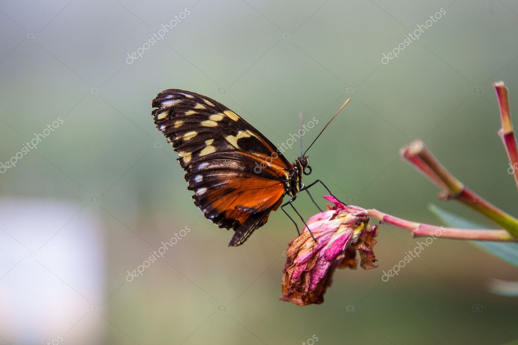 Plain tiger butterfly resting on dead flower — Stock Photo #12638240