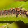 Caterpillar on leaf — 图库照片