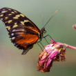 Plain tiger butterfly on dead flower — Stockfoto