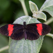 Black and red butterfly — Foto de Stock