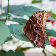 Blue morpho butterfly resting on leaf — 图库照片