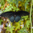 Black butterfly on leaf — 图库照片