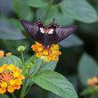 Black swallowtail with orange spots on flower — 图库照片