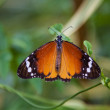 Plain tiger butterfly — 图库照片