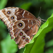 Blue morpho butterfly close up — 图库照片