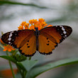 Butterfly on flower — Lizenzfreies Foto