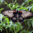 Common mormon on leaf — Stockfoto