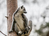 Lemur in tree — Stock Photo