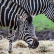 Chapmans zebra — Stock Photo #14509145