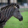 Chapmans Zebra — Stock Photo