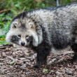 Racoon Dog looking — Stock Photo #14509231