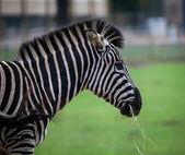 Chapmans Zebra — Stock Photo
