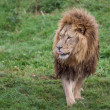 Stock Photo: Lion noble