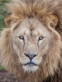 Lion head stare — Stock Photo