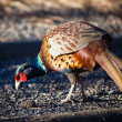 Stock Photo: Male Pheasant