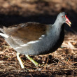 Moor hen — Stock Photo