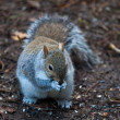 Squirrel eating a nut — Stock Photo